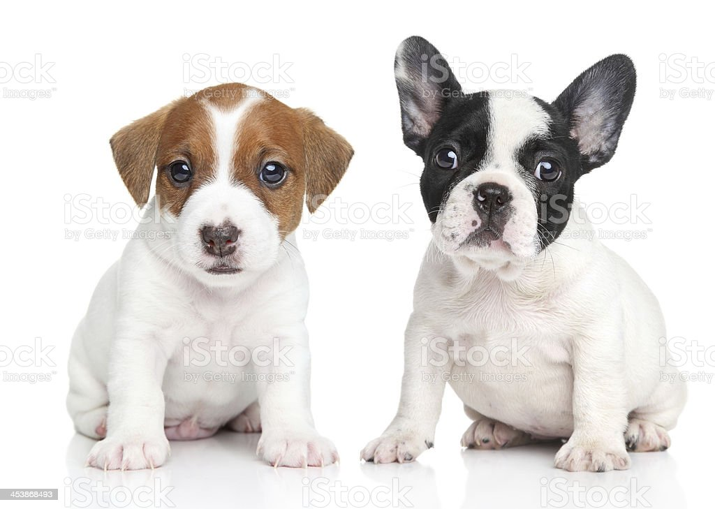 Jack Russell terrier and french bulldog puppies stock photo