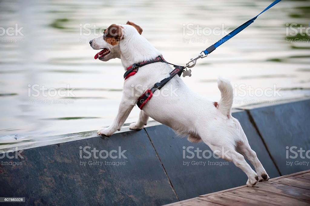 Jack Russell terrier at water background stock photo