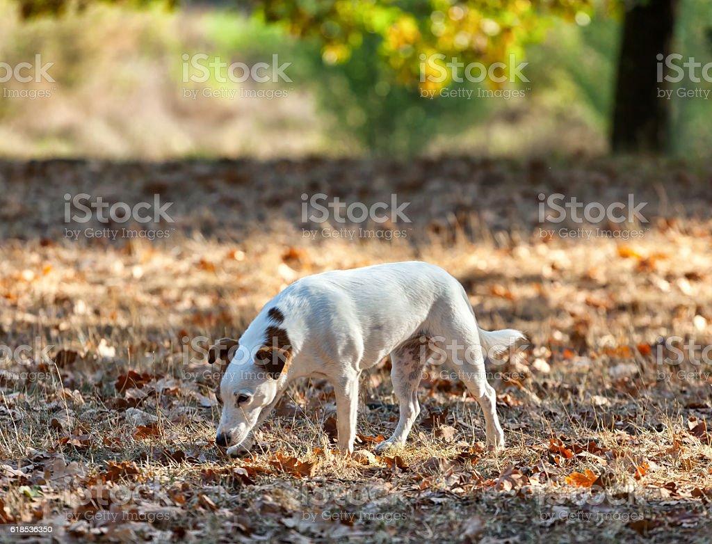 Jack russell terrier autumn. stock photo
