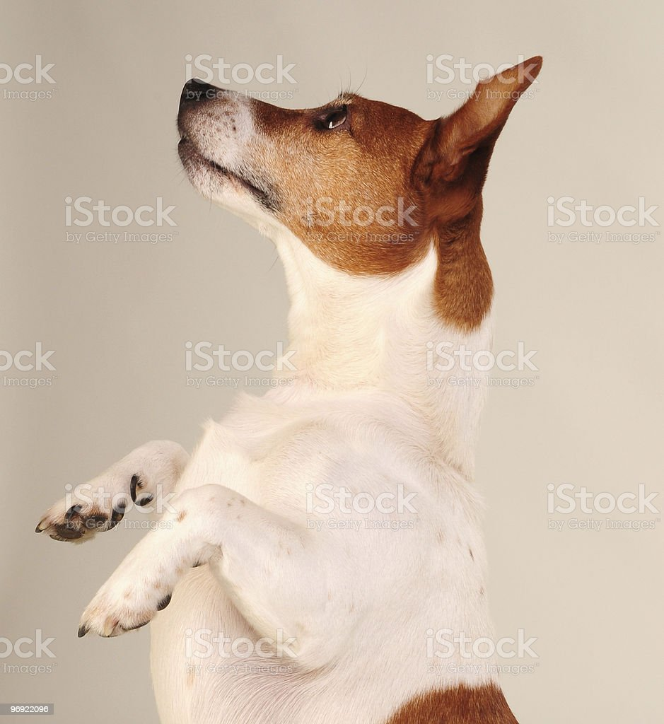 Jack Russell Terrier Begging royalty-free stock photo