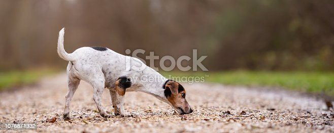istock Jack Russell Terrier Cute dog is following a trail 1076871332