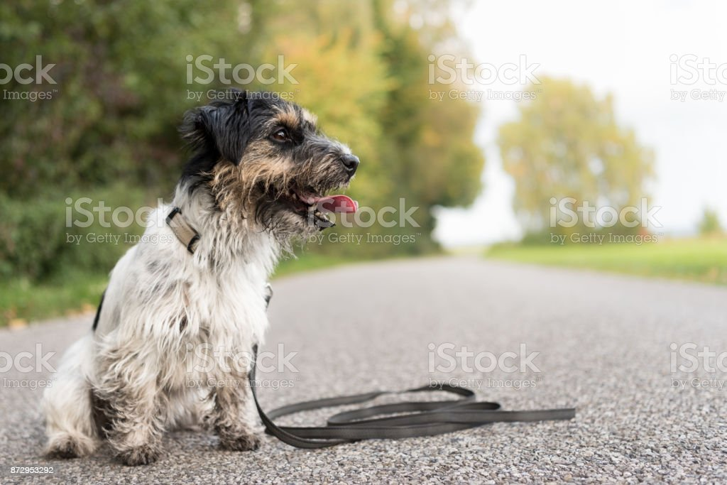 Jack Russell Terrier Dirty Dog Ist Brav Auf Der Straße Sitzen