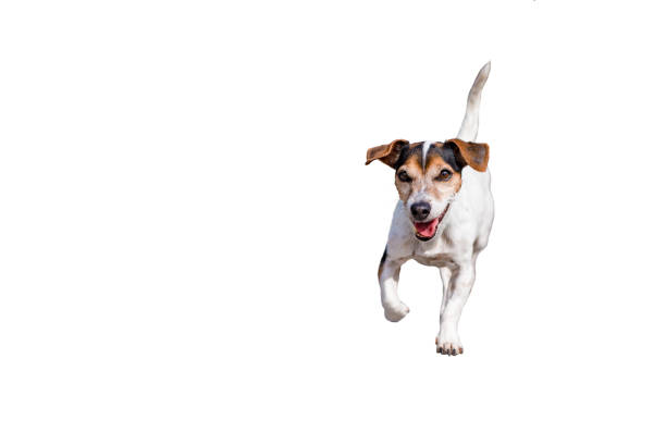 Jack russell terrier dog 11 years old cute small dog isolated against picture id1045029890?b=1&k=6&m=1045029890&s=612x612&w=0&h=4awu1d61dqw1h8f8e34g1 e51tr3oiknz0vnfpsnwq0=