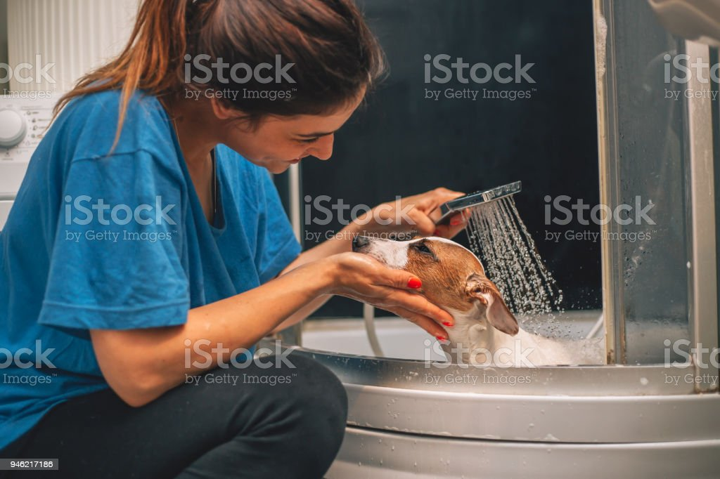 Jack russell terrier dog having a bath stock photo