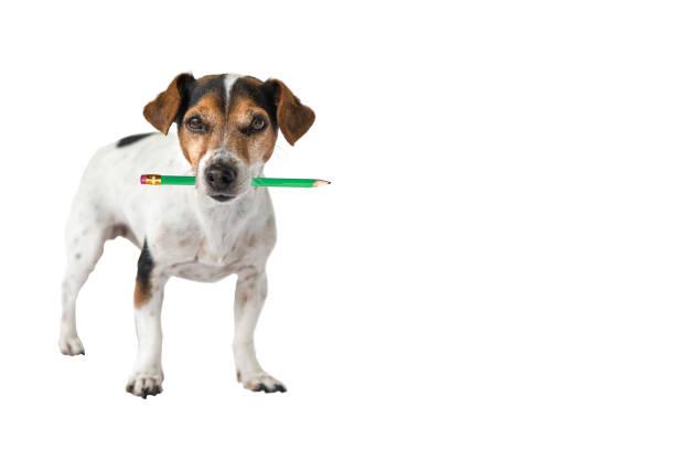 Jack Russell Terrier Hund hält einen Bleistift in den Mund. Niedlicher Bürohund – Foto