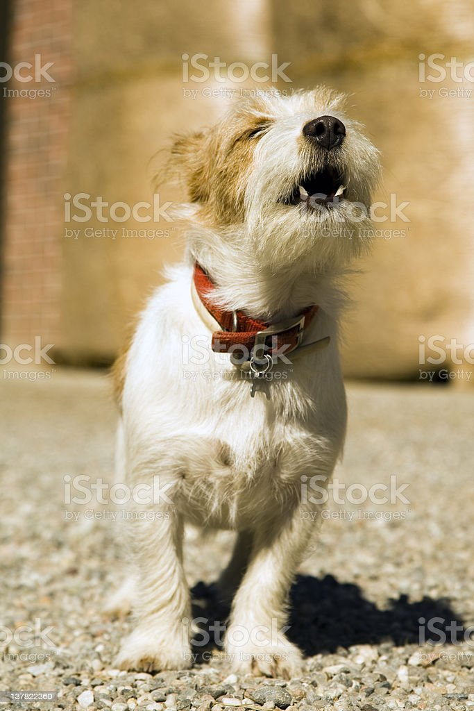 Jack Russell Terrier Dog Howling. Color Image stock photo
