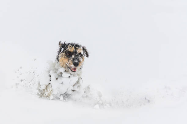 Jack russell terrier dog in the snow funny dogs running in front of picture id1174593109?b=1&k=6&m=1174593109&s=612x612&w=0&h=h7gcumiqubzrrpjjek dfpff07bl6nqbxlnpyhclnw8=