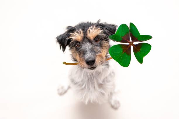 Jack Russell Terrier Hund hält einen vierblättrige Kleeblatt Glücksbringer und nachschlagen – Foto