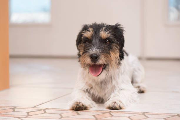 Jack Russell Terrier dog is lying on the floor in front of a white door and is is waiting for a walk Small cute Jack Russell Terrier dog is lying on the floor in front of a white door and is is waiting for a walk singen stock pictures, royalty-free photos & images