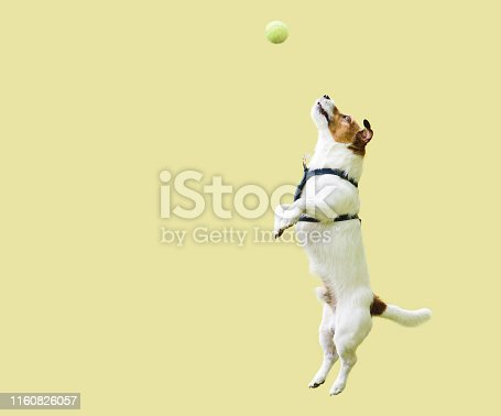 Dog catching ball looking at target