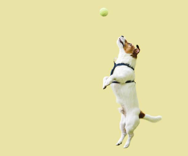jack russell chien terrier sautant directement contre le mur jaune pour attraper la bille de tennis - état solide photos et images de collection