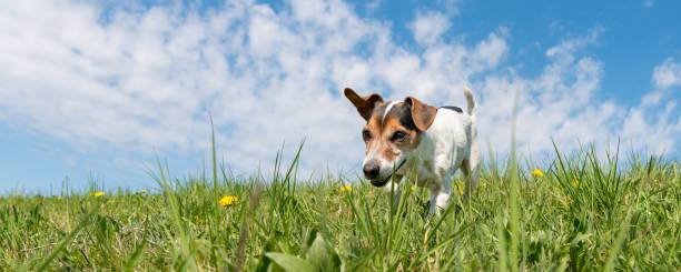 Jack Russell Terrier Hund auf einer Wiese vor blauem Himmel – Foto
