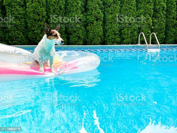Jack russell terrier dog on an inflatable pool float picture id1173683710?b=1&k=6&m=1173683710&s=612x612&h=ztmbihhn7o7q6wunrbhhmsjfr bhwweaqbo2tjfmwvy=