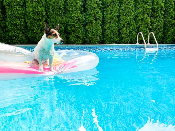 Jack Russell Terrier dog on an inflatable pool float Jack Russell Terrier dog sitting on an inflatable pool float in the middle of an outdoor swimming pool with green cedar hedges as background. backyard pool stock pictures, royalty-free photos & images