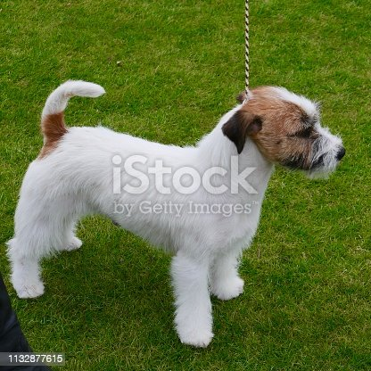 A small short haired white dog looking  for dog treats