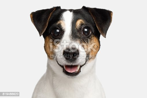 istock Jack Russell Terrier Dog on White background 819488620