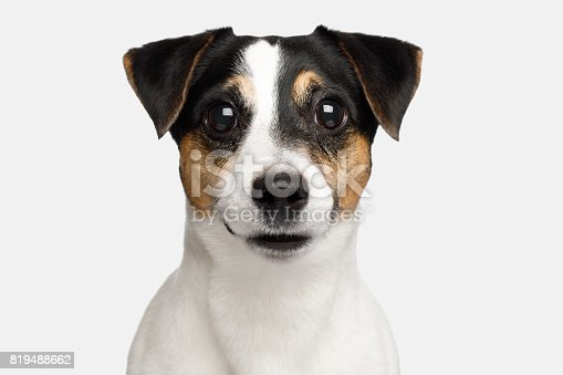 istock Jack Russell Terrier Dog on White background 819488662
