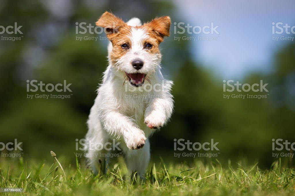 Jack Russell Terrier dog outdoors on grass stock photo