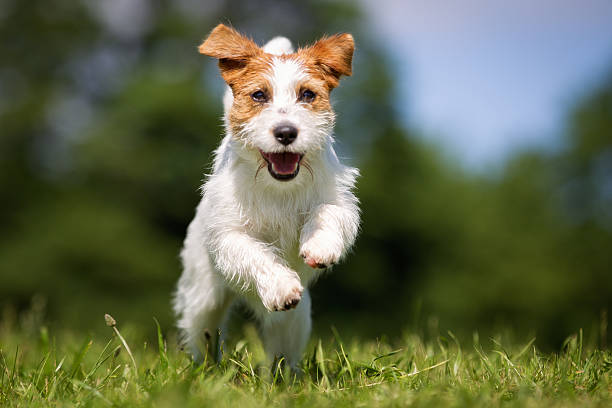 Jack Russell Terrier dog outdoors on grass Purebred Jack Russel Terrier dog outdoors in the nature on grass meadow on a summer day. approaching stock pictures, royalty-free photos & images