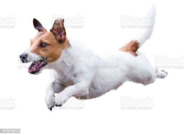 Jack russell terrier dog running and jumping isolated on white picture id673078910?b=1&k=6&m=673078910&s=612x612&h=hgzluarser8jss1ubxkzqif6o hvfcqhr c9tvrs3ui=