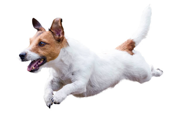jack russell terrier dog running and jumping isolated on white - dog jumping stock photos and pictures
