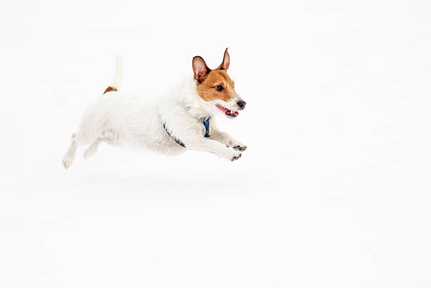 Jack russell terrier dog running on ice pond picture id496524568?b=1&k=6&m=496524568&s=612x612&w=0&h=m22xoi6zhxgmnm8ozlpegnch933nrixsqn6jy9glh6g=