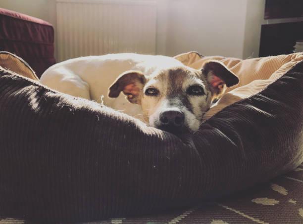 jack russell terrier hund schlafend in seinem bett - katzen kissen stock-fotos und bilder