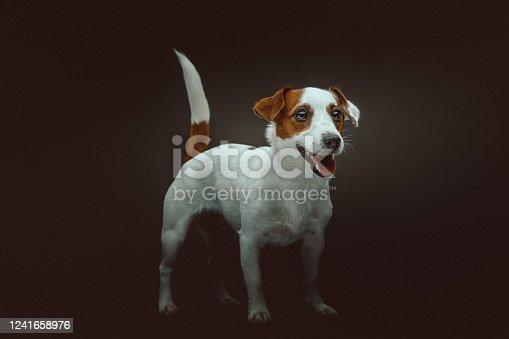 Jack Russell Terrier Dog. Studio shot. Moody dark lighting, dark background.
