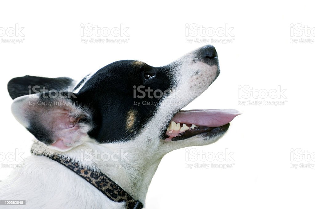 Jack Russell Terrier Dog with Per Collar Portrait, White Background royalty-free stock photo