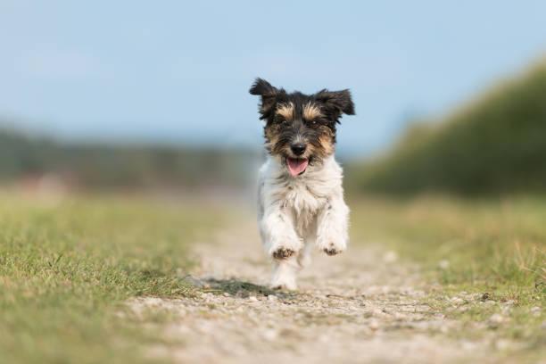 Jack russell terrier female 2 years old cute little dog running fast picture id898560168?b=1&k=6&m=898560168&s=612x612&w=0&h=uvv1zttmos6oaemtnohajurdbekdmtfl50oe6nof13m=