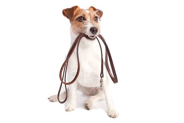Jack terrier russell sostiene leach - foto de stock