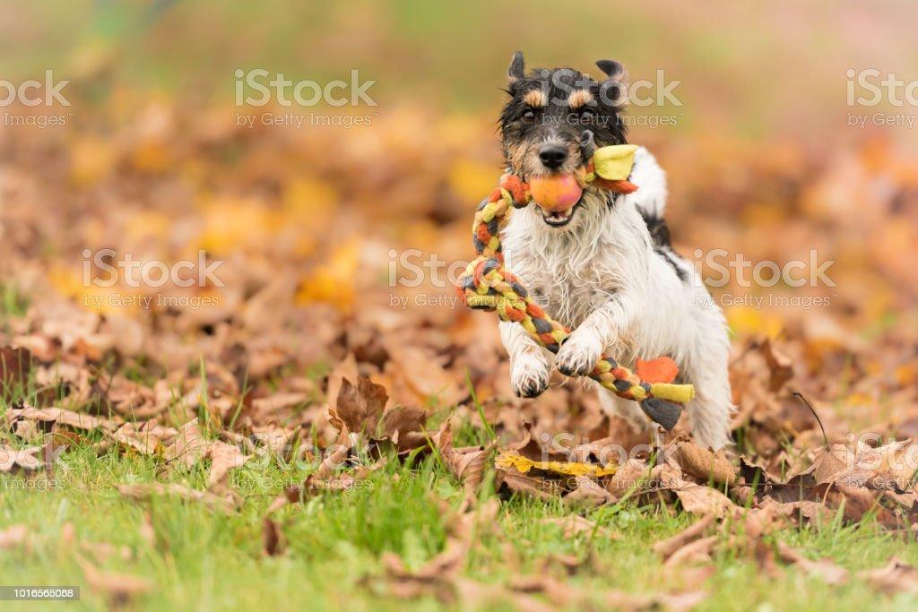Jack Russell Terrier Hund.  Kleiner Hund läuft mit seinem Spielzeug im Herbst über eine bunte Wiese – Foto