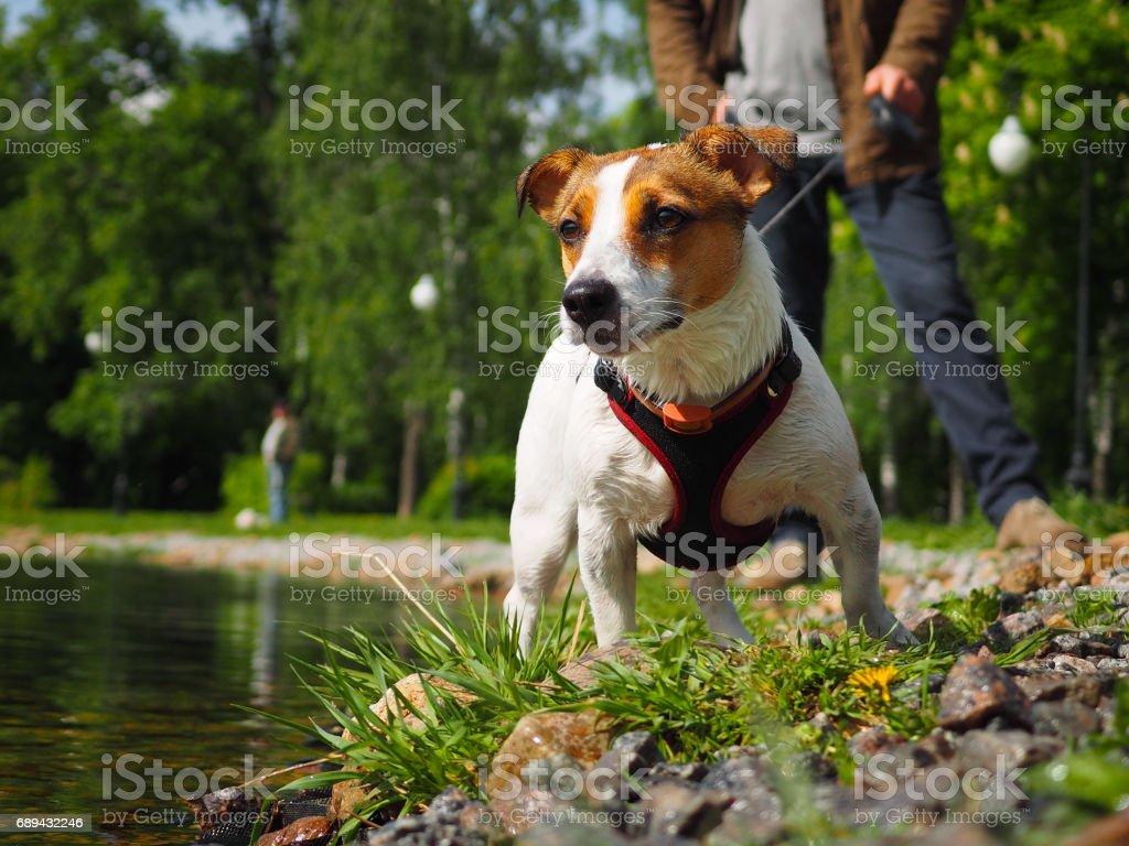 Jack Russell Terrier in a harness and on a leash стоковое фото