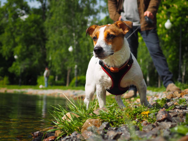 Jack Russell Terrier in a harness and on a leash stock photo