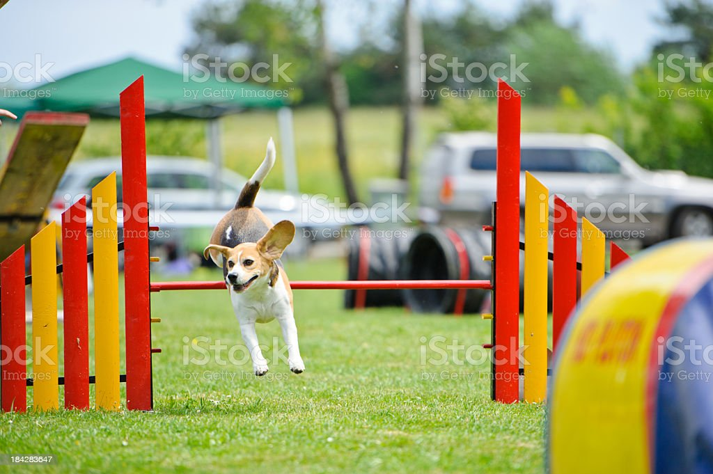 Jack Russell Terrier in agility course stock photo