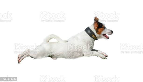 Jack russell terrier in jump picture id1061373750?b=1&k=6&m=1061373750&s=612x612&h=gfpgpmxichvbdxxrgg begn yhvj4ugjj bhurpsoas=