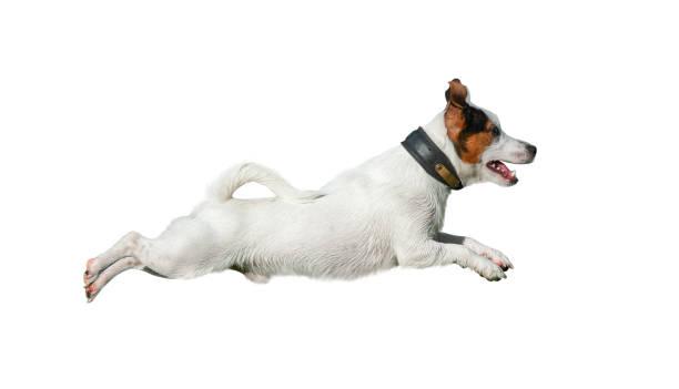 Jack russell terrier in jump picture id1061373750?b=1&k=6&m=1061373750&s=612x612&w=0&h=hqy7lpage elq8sahoqcq95yigljdk8qwp41tpjeisu=