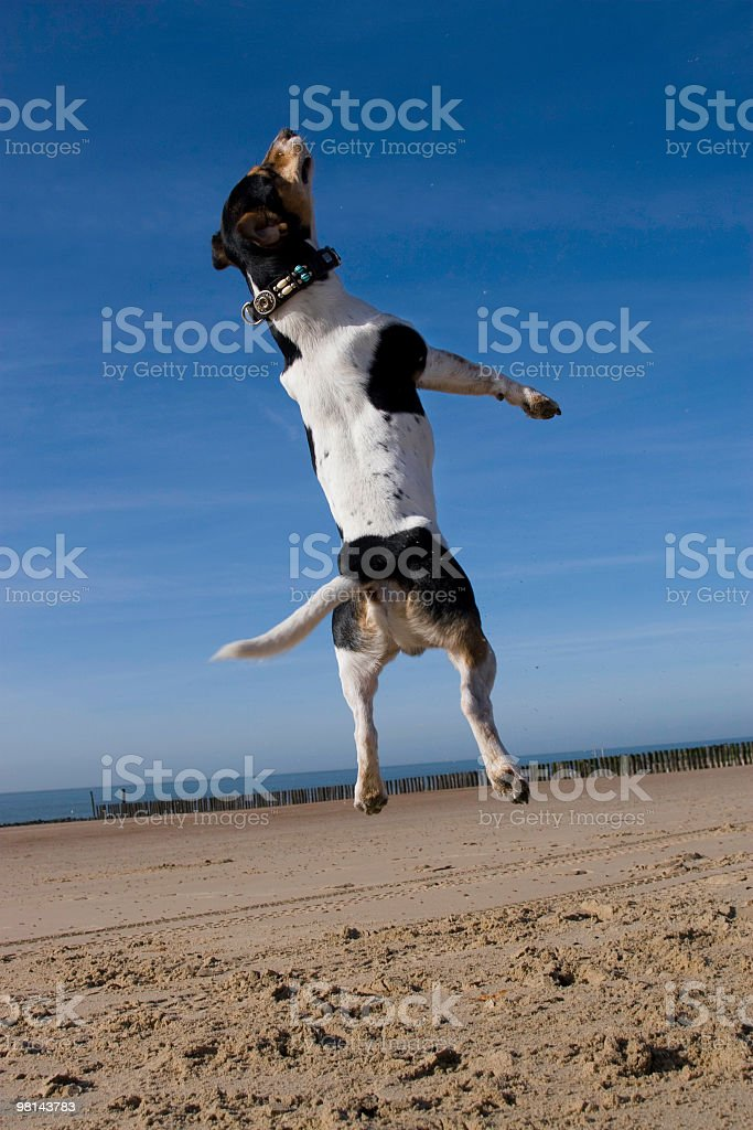 Jack Russell terrier is in the air royalty-free stock photo