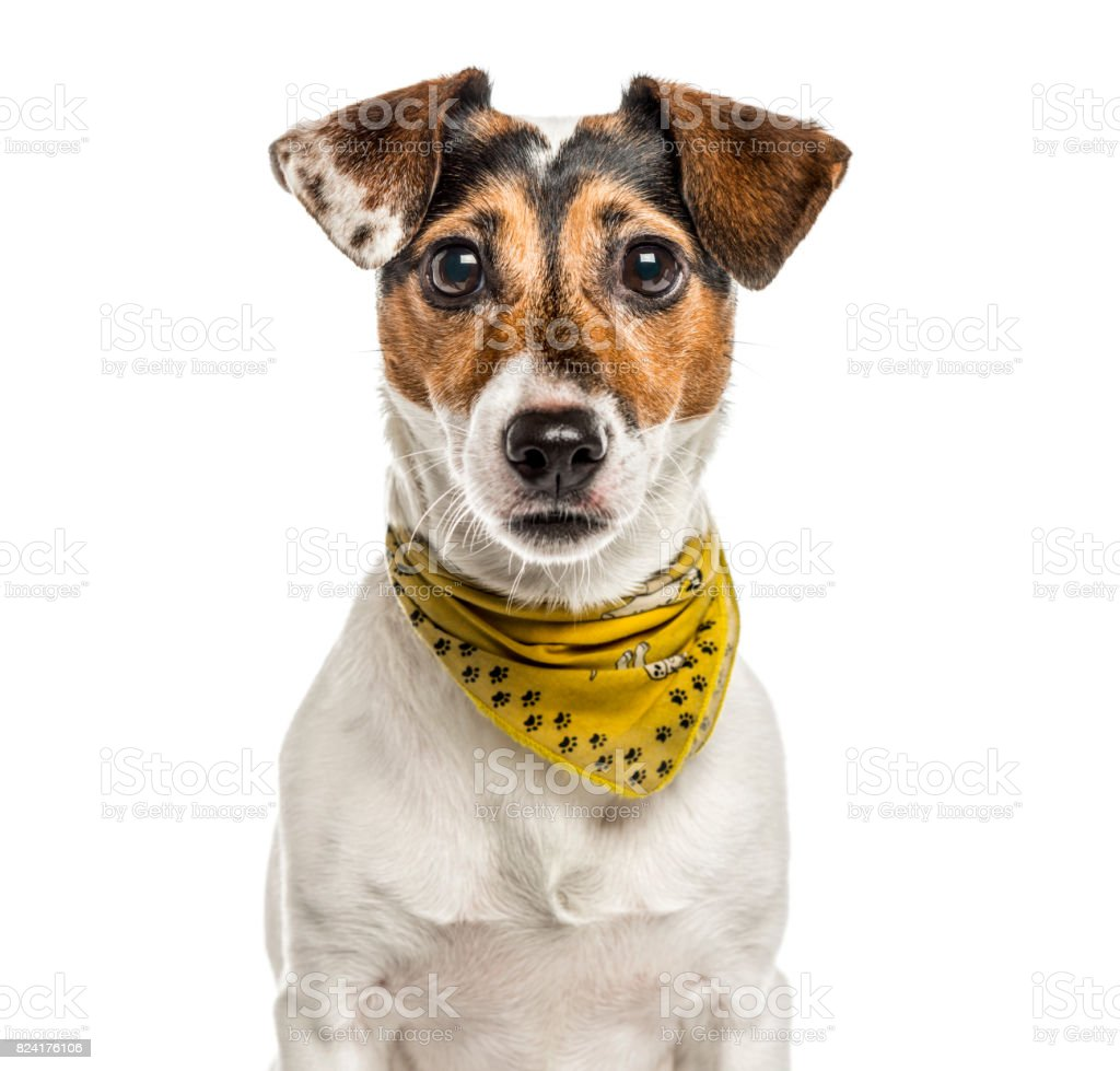 Jack Russell Terrier isolated on white stock photo