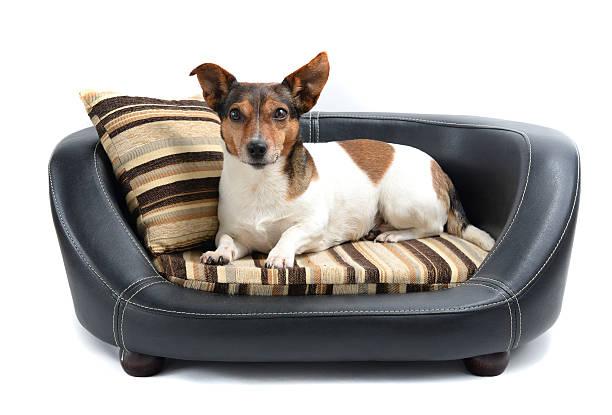 jack russell terrier hund liegen auf luxus-bett - katzen kissen stock-fotos und bilder
