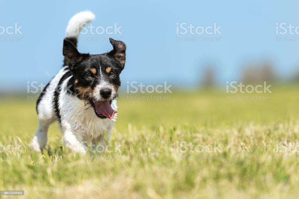 Jack Russell Terrier männlich 2 Jahre alt - niedlichen kleinen Hund läuft schnell und mit Freude über eine grüne Wiese vor blauem Himmel im Frühjahr – Foto