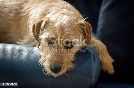 Jack russell terrier mix lies on the couch