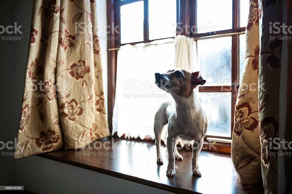 Jack Russell Terrier on windowsil royalty-free stock photo