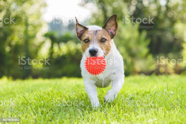 Jack russell terrier pet dog running with toy ball at backyard lawn picture id931948452?b=1&k=6&m=931948452&s=612x612&h=jhkmry1ieez8ms6kj1al0latyicrohsapys4spuhhzk=