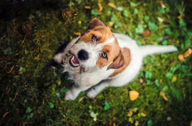jack russell terrier photo taken from above