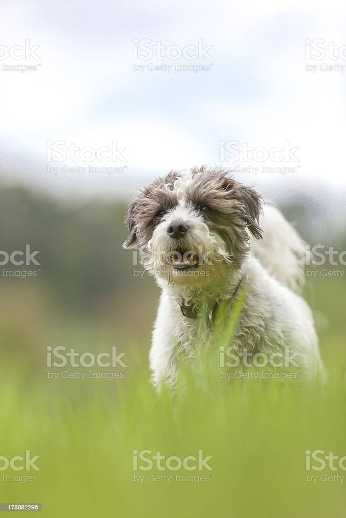 jack russell terrier royalty-free stock photo