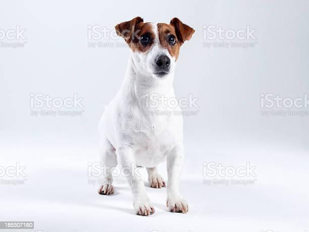 Jack russell terrier picture id185307160?b=1&k=6&m=185307160&s=612x612&h= t4x43kcbpe8uhvtrinqmk2pmbl8vc nk k9z sesn8=