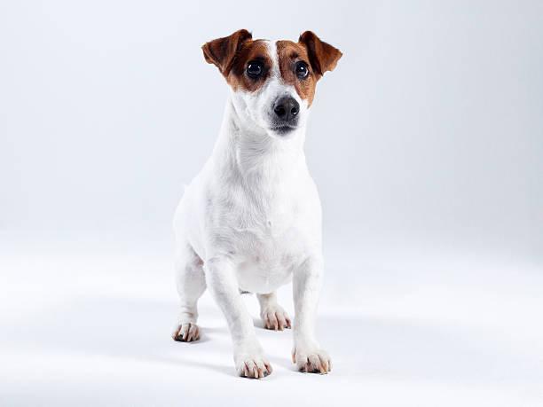 Jack russell terrier picture id185307160?b=1&k=6&m=185307160&s=612x612&w=0&h=mkfsdi5 imahv9bhnhj94syhxup9mjbfo3jlwjnqoqy=