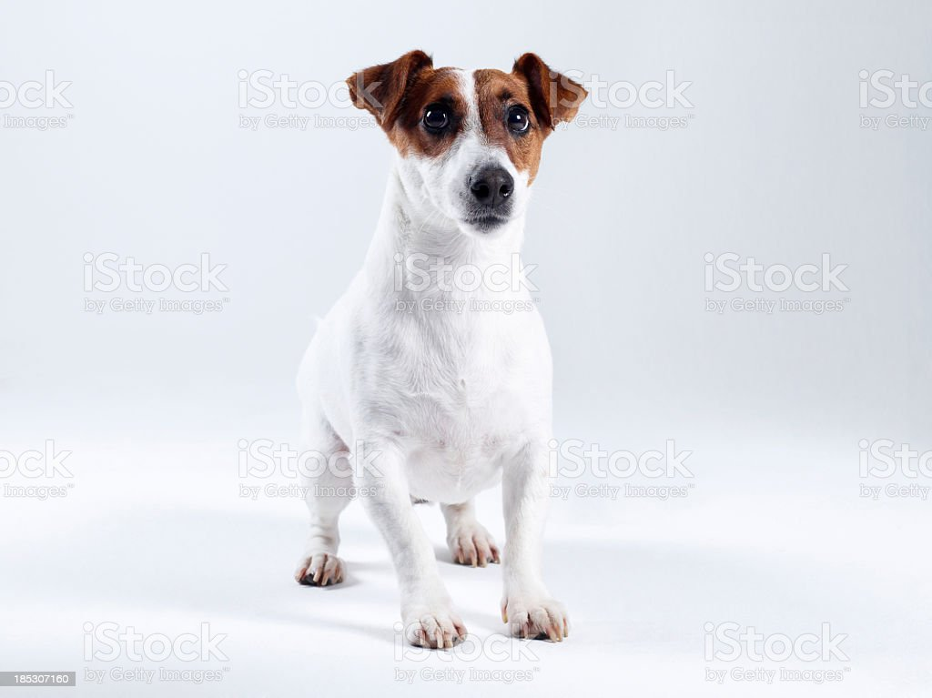 Jack Russell Terrier (Click for more) stock photo