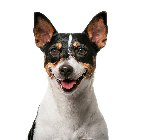 Jack russell terrier picture id483823764?b=1&k=6&m=483823764&s=612x612&w=0&h=t cjzkxorubu5xwak 2yh8kh8ikzolcfaxhqmry9lr4=